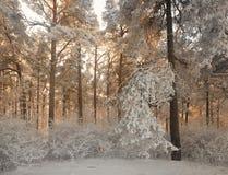 Bosque del invierno con las ramas nevadas de árboles belleza de hadas Fotos de archivo libres de regalías