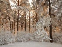 Bosque del invierno con las ramas nevadas de árboles belleza de hadas Foto de archivo libre de regalías
