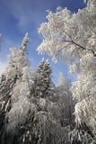 Bosque del invierno con las ramificaciones del abeto y del abedul Fotos de archivo