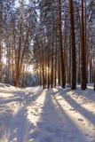 Bosque del invierno con las trayectorias en la nieve Foto de archivo