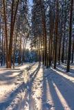Bosque del invierno con las trayectorias en la nieve Foto de archivo libre de regalías
