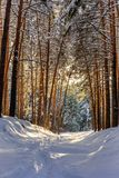 Bosque del invierno con las trayectorias en la nieve Fotografía de archivo libre de regalías