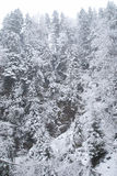 Bosque del invierno con los árboles y las nevadas nevados Foto de archivo