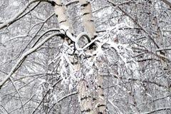 Bosque del invierno cubierto con nieve blanca limpia con el árbol de abedul con las ramas nevosas Fotos de archivo libres de regalías
