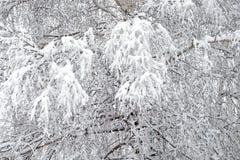 Bosque del invierno cubierto con nieve blanca limpia con el árbol de abedul con las ramas nevosas en el frente Foto de archivo