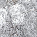 Bosque del invierno cubierto con nieve blanca limpia con el árbol de abedul con las ramas nevosas en el frente Imágenes de archivo libres de regalías