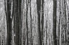 Bosque del invierno de la haya Fotografía de archivo libre de regalías