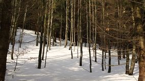 Bosque del invierno de la montaña del bosque de un bosque joven de la haya del sylvatica del Fagus, nevado con una capa grande, d almacen de video