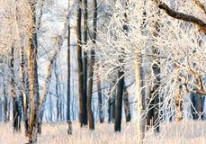 Bosque del invierno de la nieve de la mañana Imagen de archivo