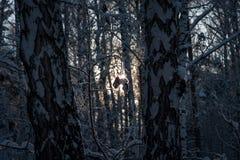 Bosque del invierno del contraluz Fotografía de archivo