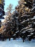 Bosque del invierno en el tiempo claro soleado, fondo Imagen de archivo libre de regalías