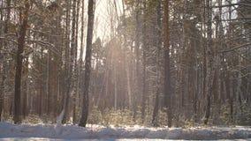 Bosque del invierno en fondo de la sol Nevadas en bosque soleado en el día de invierno almacen de metraje de vídeo