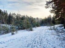 Bosque del invierno en la puesta del sol foto de archivo