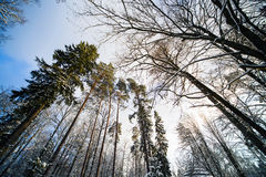 Bosque del invierno en nieve imagenes de archivo