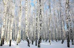 Bosque del invierno Nevado en luz del sol Imagenes de archivo