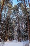 Bosque del invierno Nevado en un día soleado Piceas y pinos nevados en un fondo del cielo azul imagen de archivo libre de regalías