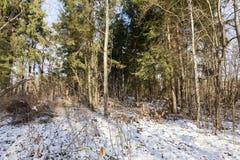 Bosque del invierno, primer Imagen de archivo libre de regalías