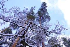 Bosque del invierno - roble y pino fotografía de archivo