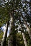 Bosque del Kauri Fotos de archivo libres de regalías