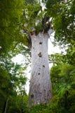 Bosque del Kauri de Waipoua imágenes de archivo libres de regalías