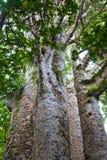 Bosque del Kauri de Waipoua foto de archivo libre de regalías