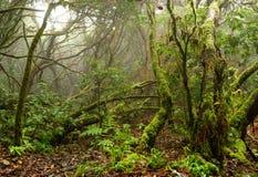 Bosque del laurel en las islas Canarias Foto de archivo libre de regalías