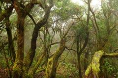 Bosque del laurel en las islas Canarias Fotos de archivo libres de regalías