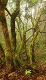 Bosque del laurel en las islas Canarias Fotografía de archivo libre de regalías