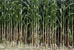 Bosque del maíz Imagen de archivo libre de regalías