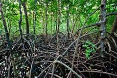 Bosque del mangle Imágenes de archivo libres de regalías