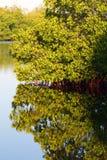 Bosque del mangle Fotos de archivo