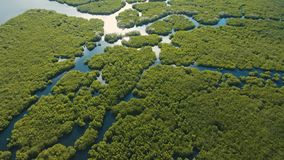 Bosque del mangle en Asia metrajes