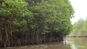 Bosque del mangle en el estuario del río el ambiente de la naturaleza del mar de la conservación metrajes