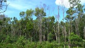 Bosque del mangle en el santuario de la bahía de Labuk, Borneo metrajes