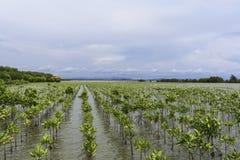 Bosque del mangle en la costa Imagen de archivo