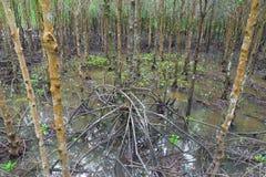 Bosque del mangle en Tailandia Fotos de archivo libres de regalías