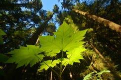 Bosque del noroeste pacífico Imagenes de archivo