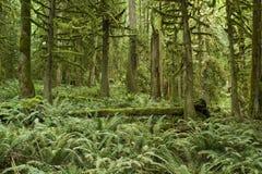 Bosque del noroeste pacífico Foto de archivo
