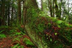 Bosque del noroeste pacífico con un árbol de cedro de rojo occidental del viejo crecimiento fotografía de archivo