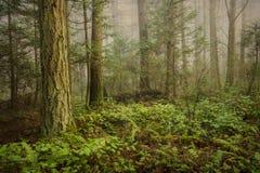 Bosque del noroeste pacífico en una mañana de niebla imagen de archivo