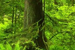 Bosque del noroeste pacífico y cedro rojo occidental Foto de archivo libre de regalías