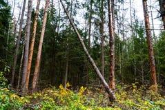 Bosque del otoño, árboles altos, pino caido Fotos de archivo
