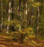 Bosque del otoño Imagenes de archivo