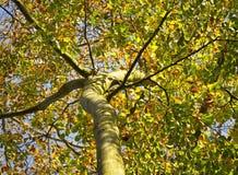 Bosque del otoño, bosque de la haya Imagenes de archivo