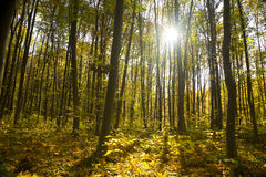 Bosque del otoño/colores brillantes de las hojas/luz del sol fotos de archivo libres de regalías