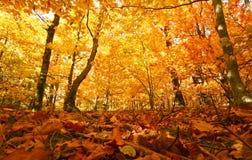 Bosque del otoño con colores del oro Imagen de archivo