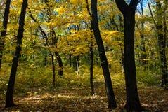 Bosque del otoño con follaje amarillo fotografía de archivo libre de regalías