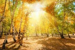 Bosque del otoño con los árboles amarillos en el día soleado Fotografía de archivo libre de regalías