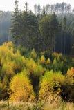 Bosque del otoño con los árboles de abedul brillantes Imagen de archivo libre de regalías