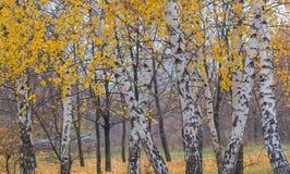 Bosque del otoño con los abedules amarillos Imágenes de archivo libres de regalías